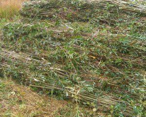Fascine de saule, protection contre l'érosion