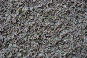 Le semis de mousse est effectué