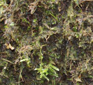 La germination débute quelques mois après le semis